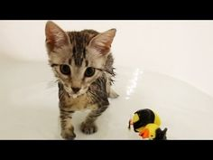 Kitten Plays in Bathtub