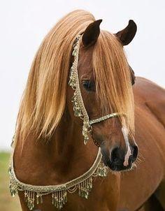 Arabian Horse Arabia