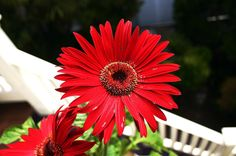 Red Daisey!