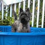 Instagram photo by @Betsy Coffey (Betsy Coffey) - via Statigr.am  Finnie the Cairn sure is enjoying her pool!