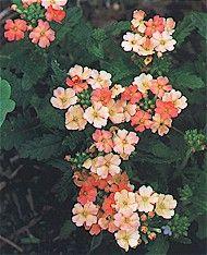 Verbena:  easy to grow perennial in rock garden