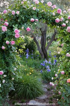Pink climbing rose on arch trellis over path in country garden in California Napa country garden, Saxon Holt. - SO beautiful!!