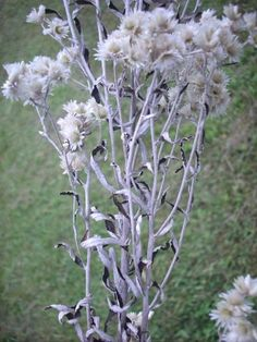 Rabbit Tobacco / Sweet Everlasting / Cherokee Tobacco. Contains no nicotine & doesn't have to be smoked. Many Medicinal Uses: Migraine, Sinus Trouble, Cough, Asthma, Flu & many more. Some Native Americans believed the smoke held a spiritual or mystic power