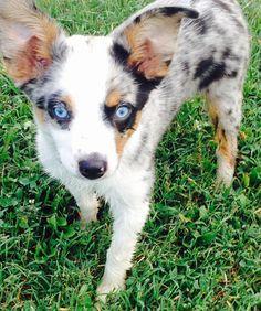 ... Breed -- Dog Breed: Anatolian Shepherd Dog / Australian Cattle Dog