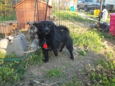 Skipper                            Pomeranian/Schipperke Mix:                   An adoptable                                    dog                                     in                   Akron, NY                                                                          Small                   •                  Adult                    •                  Male
