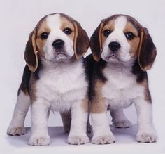 Beagles -- uh, oh... TWO beagle puppies. Double the trouble, but also double the CUTE!