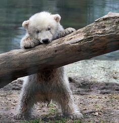 i LOVE baby polar bears!!