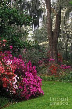 ✮ Azalea and dogwood in bloom at Magnolia Plantation in South Carolina