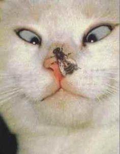 funni cat, animals, silly cats, bee, funny cats, pet, white cats, kitti, kitty