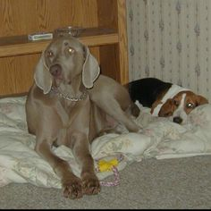 My, Weimaraner Cody, and Bassett Hound Allie