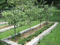 Raised garden bed with espalier apple trees and a row of strawberries