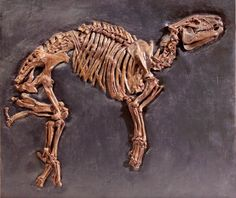 Fossil of a Tapir from Messel in  Germany  Rain forest in Europe? 47 million years ago there was this tropical climate. An insight into this lost world type fossils from Messel