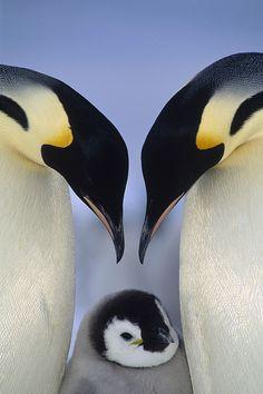 ~~ Emperor Penguin Aptenodytes Forsteri by Tui De Roy~~