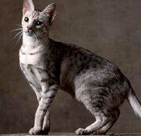 Cat Breed Profile :: Ocicat