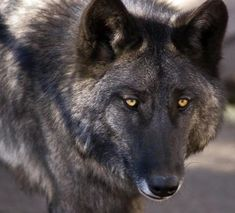 wolf dog hybrid photo | Dogs are not domesticated wolves - Seattle Dog Behavior & Training ...