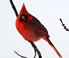 Le cardinal (mâle)