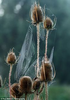 Cobwebs on teasels beside The River Nene near Peterborough, Cambridgeshire