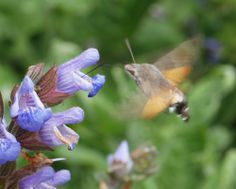 A Hummingbird Hawk Moth, a visitor from North Africa. Spotted at Gunby Hall  Gardens.