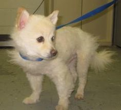 1915 - Pippin is an adoptable Pomeranian Dog in Georgetown, OH.