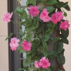 This pink Mandevilla would make a gorgeous choice to trail up a pergola. More pergola vine ideas here: http://www.landscapingnetwork.com/pergolas/vines.html