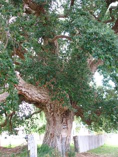 Cork tree in Tenterfield, NSW.  Brought from England by Edward Parker and planted in 1861.  Believed to be the largest Cork tree in Australia.
