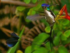 Marvelous Spatuletail (Loddigesia mirabilis) - World's Rarest Hummingbird? by David Cook Wildlife Photography (kookr)