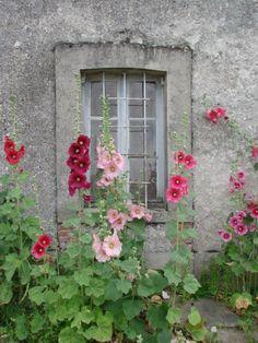 Hollyhocks   ..    Image found on www.wandelen-in-frankrijk.net