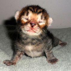 Toyger kitten. Want.