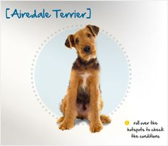 Did you know that the Airedale Terrier is the largest in the Terrier group? Read more about this breed by visiting Petplan pet insurance's Condition Checker.