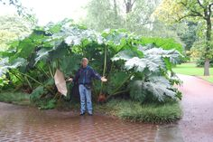 Natural umbrella; Edinburgh Botanical Gardens, Scotland. Who needs an umbrella; nature makes some huge leaves that work well! Photo by Shay Davidson