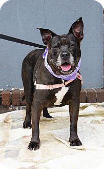 Mt Vernon, NY - American Pit Bull Terrier Mix. Meet Hailey, a dog for adoption. http://www.adoptapet.com/pet/11437529-mt-vernon-new-york-american-pit-bull-terrier-mix