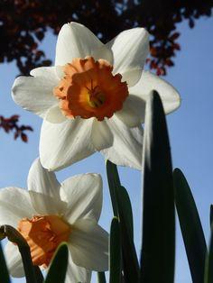 More spring beauty from  Sheran Clark's garden.