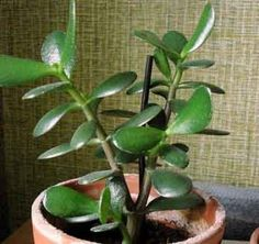 How To Care For and Grow The Jade Plant, with Video ~ Plant Care Today
