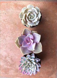Succulent Plants  Trio