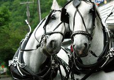 Carriage horses - Jim Thorpe, PA