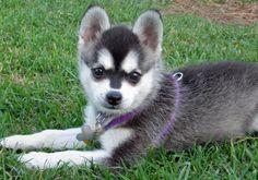 An Alaskan Klee Kai, which is like a mini husky! so freaking adorable!