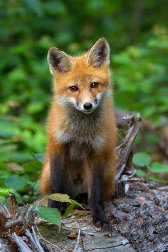 Red Fox - Photo by Jim Cumming