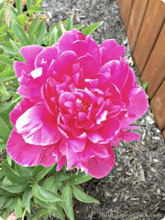 Helpful tips on how to grow gorgeous #peonies! #gardening