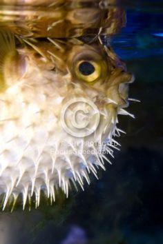 $ Puffer fish