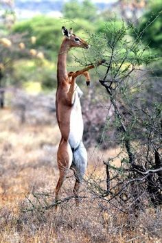 "Gerenuk means ""giraffe-necked,"" & as though this animal (Antelopes) isn't skinny & tall enough, they will stand on their hind legs to reach taller brush to eat."