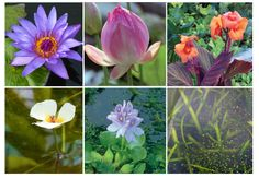 How to care for pond plants