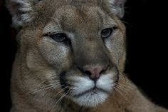 Mountain lion, puma, cougar, panther—this cat is known by more names than just about any other mammal.