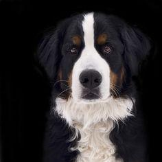 Bernese Mountain Dog. I love them!!!!