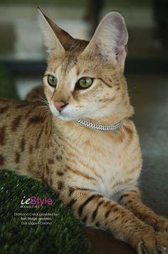 Welcome to the Bella Gattini Cattery - Breeder of Exotic Savanna Cats - Breeder of Exotic Savanna Cats