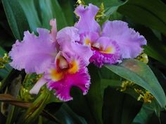 Colombia:  Christmans orchid, May flower / orquídea colombiana, flor de mayo (Cattleya trianae)  http://en.wikipedia.org/wiki/Cattleya_trianae  http://es.wikipedia.org/wiki/Cattleya_trianae