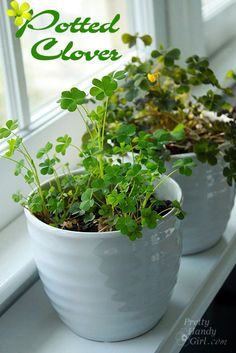 Easy Potted Clover for St. Patrick's Day