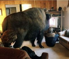 living rooms, animals, friends, funny pictures, funni, pets, tvs, animal planet, buffalo bills