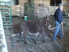 donkey training - overcoming a balk