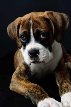 How could you resist this Boxer puppy face???  Sooo cute!