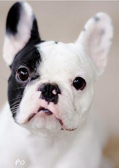 . french bulldogs, bulldog puppies, cutest dogs